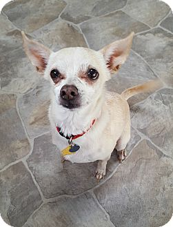 Chihuahua Dog for adoption in Fennville, Michigan - Mina