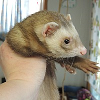 Ferret for adoption in Carlton, Oregon - Copper
