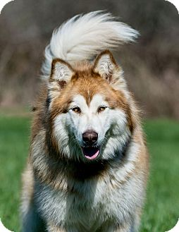 Alaskan Malamute Mix Dog for adoption in Mt Prospect, Illinois - ADOPTED - Lucy