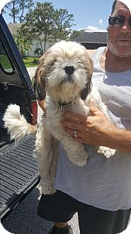 Shih Tzu Dog for adoption in Palm Bay, Florida - Dusty. Pending adoption