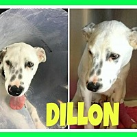 Adopt A Pet :: Dillon - Fort Collins, CO