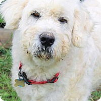 Great Pyrenees/Old English Sheepdog Mix Dog for adoption in Beacon, New York - Hansel - new!