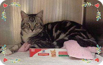 Domestic Shorthair Cat for adoption in Marietta, Georgia - TUNDRA (R)