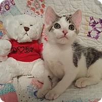 Adopt A Pet :: Kitty Purry - Highland, IN