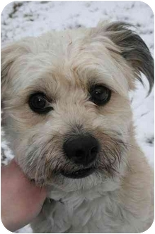 Terrier (Unknown Type, Small) Mix Dog for adoption in Saint Charles, Missouri - Buster
