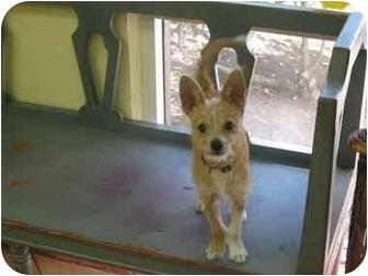 Chihuahua/Terrier (Unknown Type, Small) Mix Puppy for adoption in Aliso Viejo, California - Chico