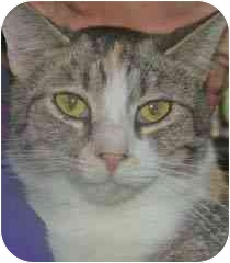 Domestic Shorthair Cat for adoption in Kirkwood, Delaware - Callie