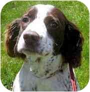 English Springer Spaniel Dog for adoption in Minneapolis, Minnesota - Sammy (SD)