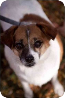 Cavalier King Charles Spaniel/Jack Russell Terrier Mix Dog for adoption in Cincinnati, Ohio - Prissy: 3 years, 16 pounds