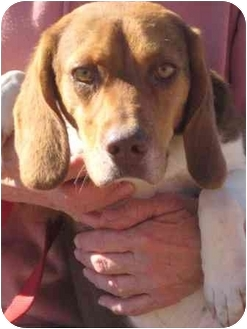 Beagle Dog for adoption in Florence, Indiana - RD