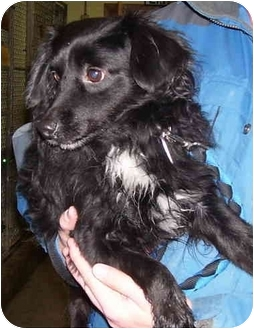 Pomeranian/Terrier (Unknown Type, Small) Mix Dog for adoption in Somerset, Pennsylvania - Bear