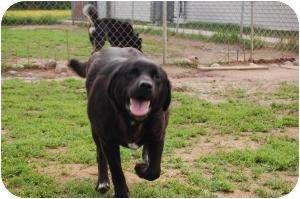 Labrador Retriever Mix Dog for adoption in Barron, Wisconsin - Poppy