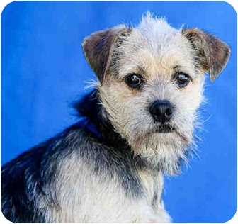 Terrier (Unknown Type, Small) Mix Dog for adoption in Los Angeles, California - Pierre