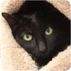 Domestic Shorthair Cat for adoption in Naperville, Illinois - Duncan