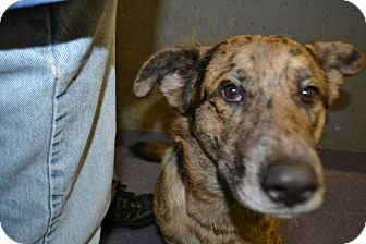 Shepherd (Unknown Type)/Cattle Dog Mix Dog for adoption in Edwardsville, Illinois - Brody