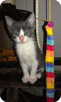 Domestic Shorthair Kitten for adoption in Nashville, Tennessee - Miracle Max