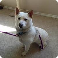 Adopt A Pet :: Shizuka - Centennial, CO