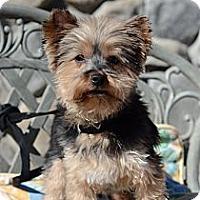 Adopt A Pet :: NIKKI - RENO, NV