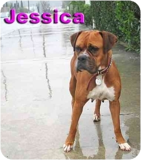 Boxer Dog for adoption in Encino, California - Jessica