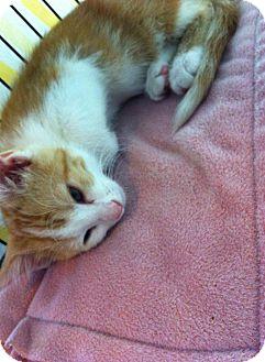 Domestic Shorthair Kitten for adoption in Chisholm, Minnesota - Mason