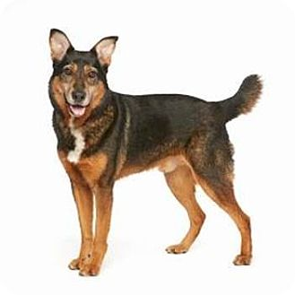 German Shepherd Dog/Collie Mix Dog for adoption in Burbank, California - LUKE