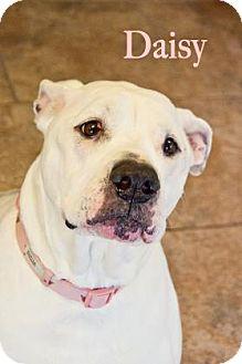 American Bulldog Dog for adoption in West Des Moines, Iowa - Daisy