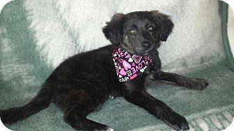 Spaniel (Unknown Type)/Australian Shepherd Mix Puppy for adoption in Cincinnati, Ohio - Millie