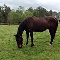 Warmblood for adoption in Mouth Of Wilson, Virginia - Belle
