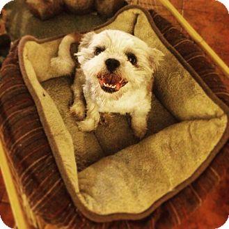 Shih Tzu Mix Dog for adoption in Seattle, Washington - William