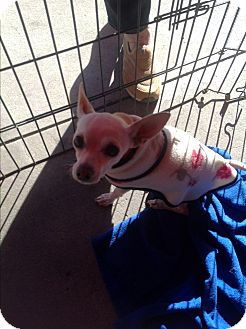 Chihuahua/Terrier (Unknown Type, Small) Mix Dog for adoption in North Hollywood, California - Daisy