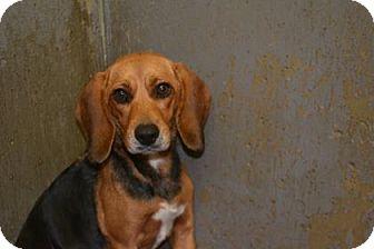 Beagle Dog for adoption in Edwardsville, Illinois - Brook
