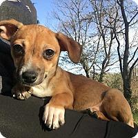 Adopt A Pet :: Tillman - Millersville, MD