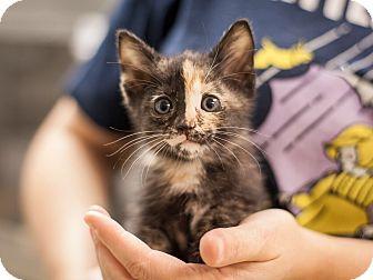 Domestic Shorthair Kitten for adoption in Dallas, Texas - Destiny