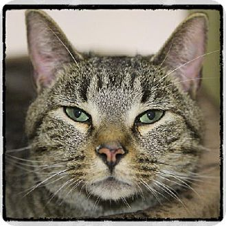 Domestic Shorthair Cat for adoption in Salem, Massachusetts - Cody