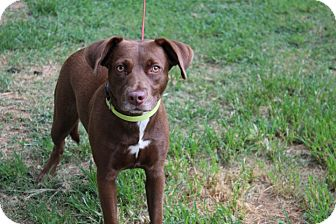 Labrador Retriever Mix Dog for adoption in Conway, Arkansas - Lucille
