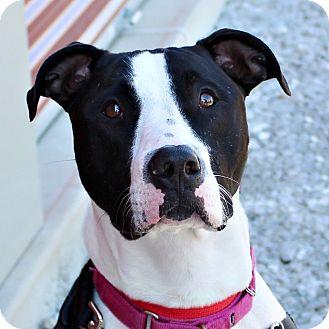 "Terrier (Unknown Type, Medium) Mix Dog for adoption in Columbia, Illinois - Metallica ""Tallie"""