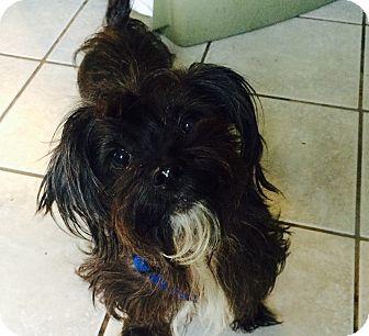 Yorkie, Yorkshire Terrier/Shih Tzu Mix Dog for adoption in Crowley, Louisiana - Harry