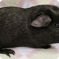 Adopt A Pet :: Danger Noodle - Highland, IN
