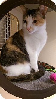 Calico Cat for adoption in Bridgeton, Missouri - Shilo