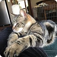 Adopt A Pet :: Maestro - Columbus, OH