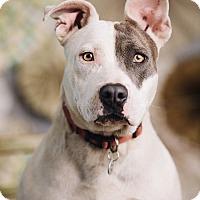 Adopt A Pet :: Bindi - Portland, OR