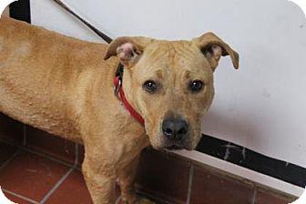 Labrador Retriever Mix Dog for adoption in Daytona Beach, Florida - Buster