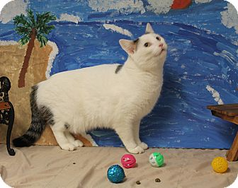 Domestic Shorthair Cat for adoption in Stockton, California - Pinky