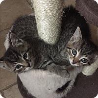 Adopt A Pet :: Kree (polydachtyl) - Sterling Hgts, MI