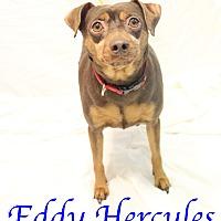 Adopt A Pet :: Eddy Hercules - Bradenton, FL