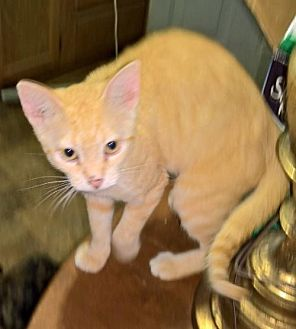 Domestic Shorthair Cat for adoption in Piedmont, Missouri - Danny