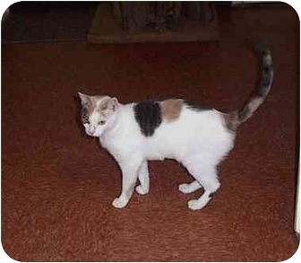 Calico Cat for adoption in Randolph, New Jersey - Jennifer