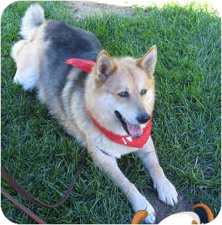 Spitz (Unknown Type, Medium)/German Shepherd Dog Mix Dog for adoption in Columbus, Ohio - KATIA