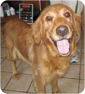 Golden Retriever Dog for adoption in Cleveland, Ohio - Lady