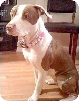 American Pit Bull Terrier Dog for adoption in Brooklyn, New York - Lola